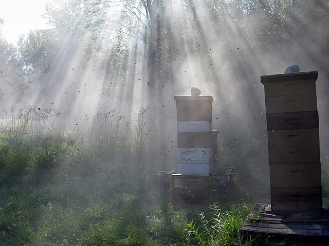 Summer morning fog at the beeyard