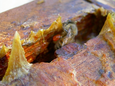 bee with propolis in hive