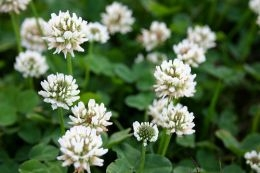 White Clover flowers